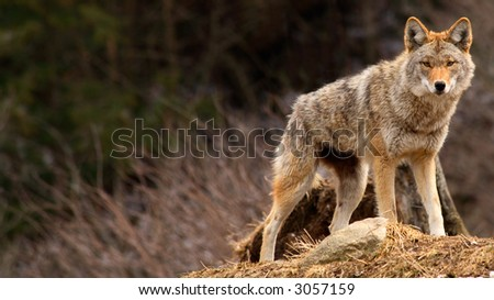 Coyote on Top of a Hill - stock photo