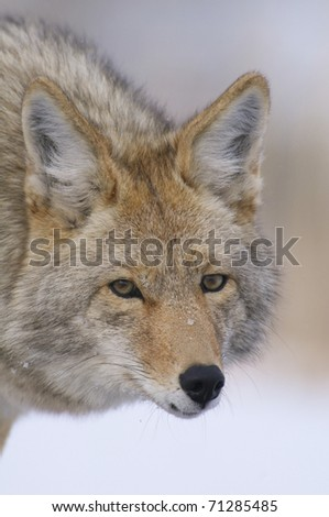 Coyote portrait in deep snow at Yellowstone National Park - stock photo