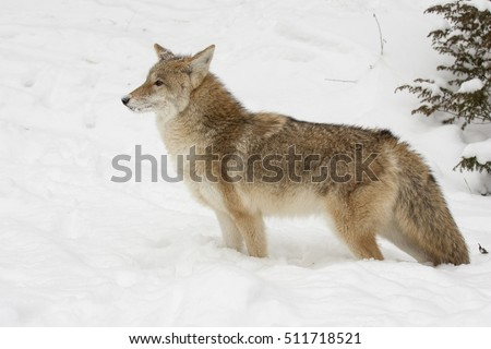 Coyote, profile,  standing in snow with evergreen trees