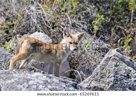 Coyote Pup - stock photo