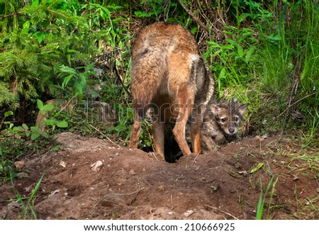 Coyote Pup (Canis latrans) Looks Out from Den While Adult Digs - captive animals - stock photo