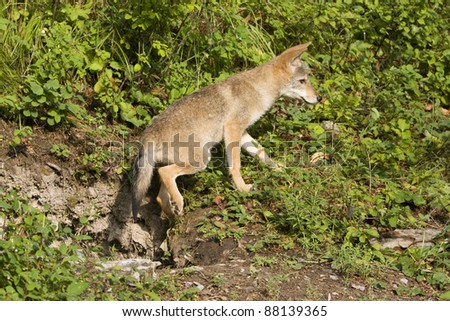 Coyote Pup coming out of the den - stock photo