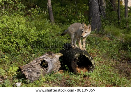 Coyote Pup Guarding his Territory - stock photo