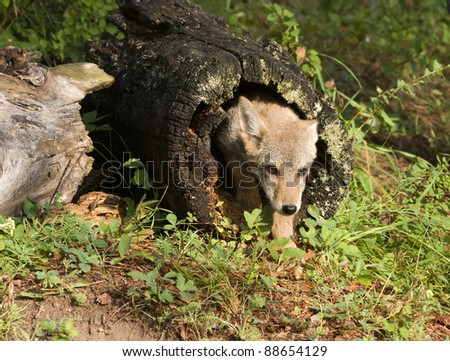 Coyote pup hiding in a log - stock photo