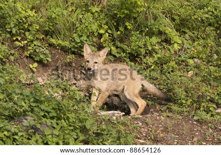 Coyote pup near his den - stock photo