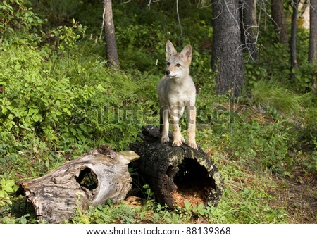 Coyote Pup Posing on a Hollow Log - stock photo
