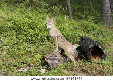 Coyote Puppy Lookout - stock photo