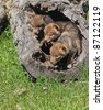 Coyote pups playing in hollowed log - stock photo