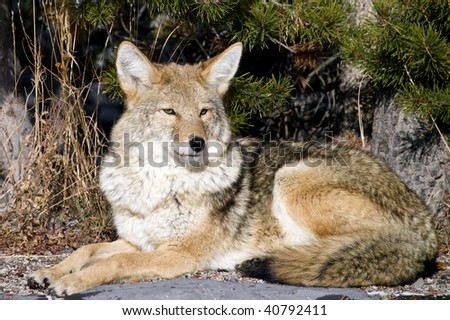 Coyote resting after hunting for a mouse - stock photo