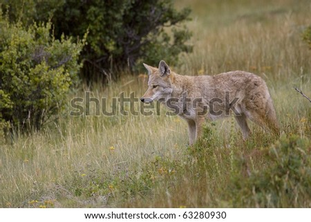 Coyote roams the meadows in the Rocky Mountain region - stock photo