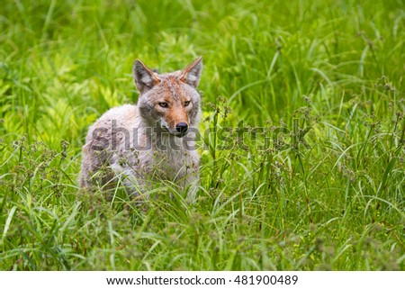 Coyote running through field in spring