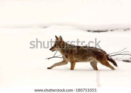 Coyote running through snow covered field - stock photo