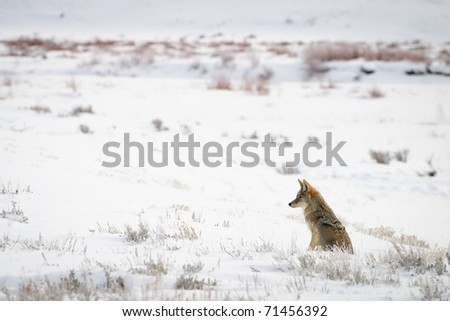 Coyote sitting in snow covered meadow, Yellowstone. - stock photo