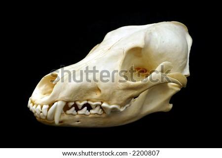 Coyote Skull - stock photo