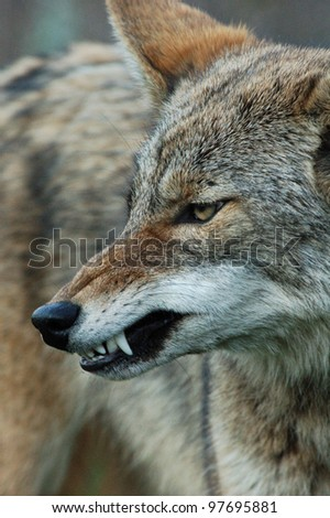 coyote snarl - stock photo