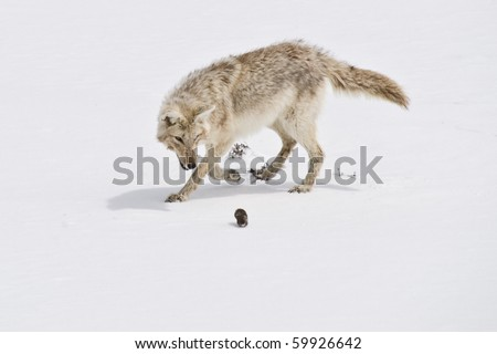 Coyote stalks a gopher that he's just dug out from under the snow - stock photo