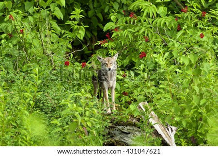 Coyote Standing in forrest - stock photo