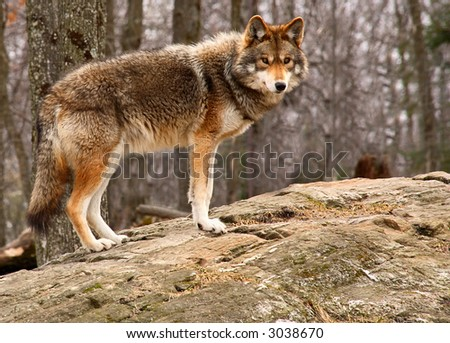 Coyote Standing on a Rock - stock photo