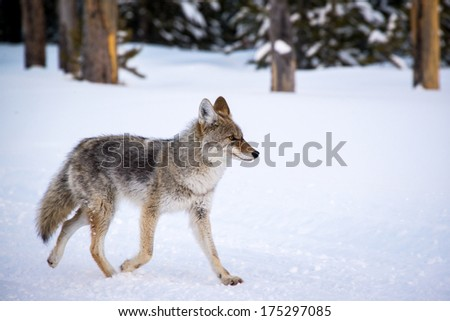 Coyote Walking in Yellowstone National Park Winter - stock photo