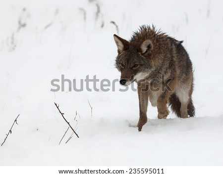 Coyote walking toward the camera, through the snow - stock photo