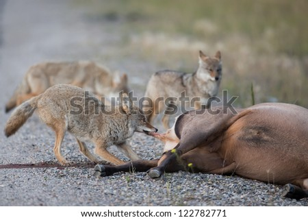 Coyotes eating a dead elk - stock photo