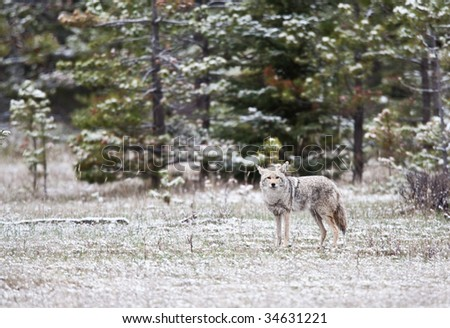 Coyotes in Jasper National Park, Alberta, Canada - stock photo