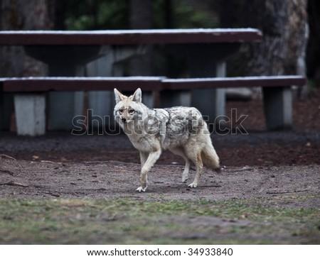 Coyotes in Jasper National Park, Alberta, Canada - stock photo