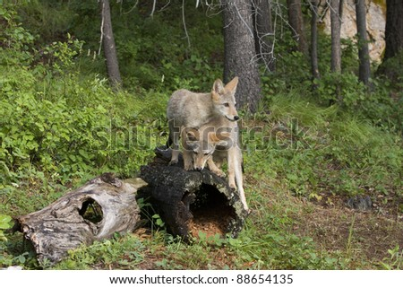 Coyotes Pups Playing - stock photo