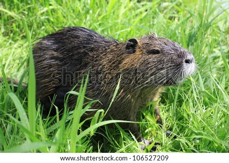 Coypu in its natural Environment