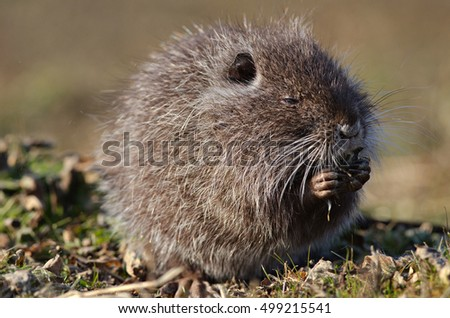 Coypu (Myocastor coypus) juvenile, eating.