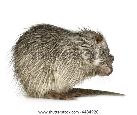 Coypu or Nutria in front of a white background