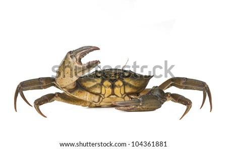 Crab alive on white background - stock photo