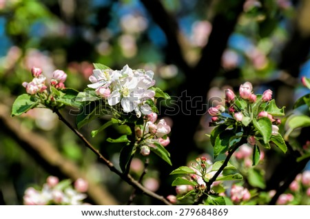 Crab apple blossoms - stock photo