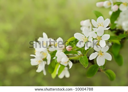 Crab apple blossoms with copyspace - stock photo