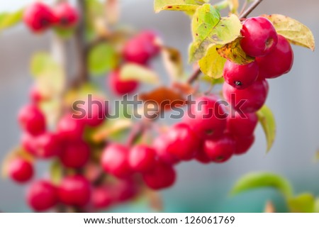 Crab-apple - Malus - Red sentinel - stock photo