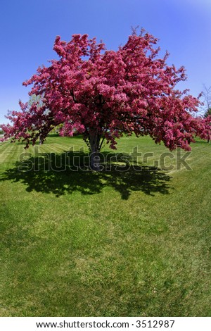 Crab Apple Tree in Bloom - stock photo