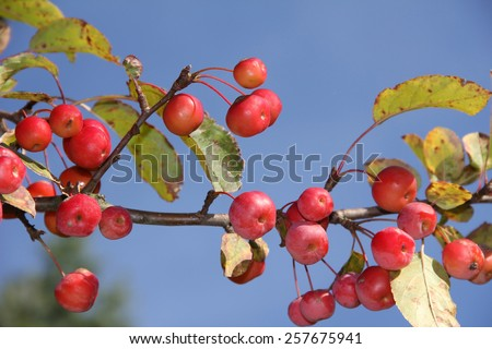 crab apple tree with red apples, malus baccata - stock photo