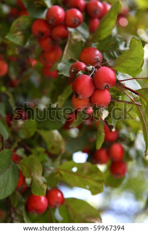 crab apples on a tree in august - stock photo