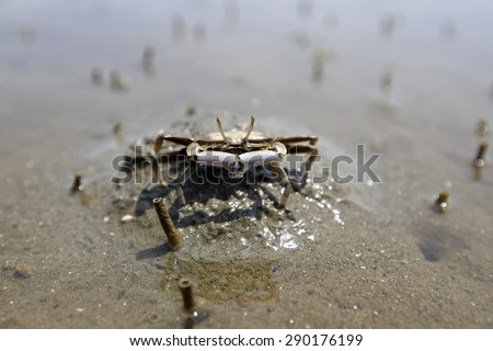 Crab crawling on Dutch beach at Don Hoi Lot,Samut Songkhram Province,Thailand