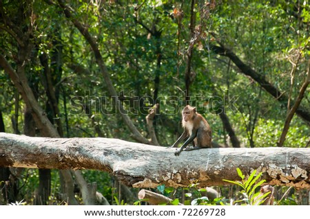 Crab-eating Macaque in mangrove forest - stock photo