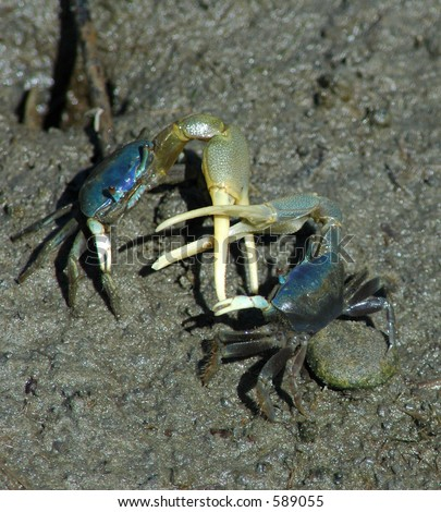 crab fight