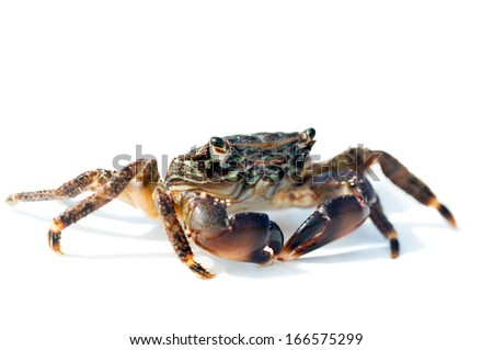 crab on a white background, close-up - stock photo