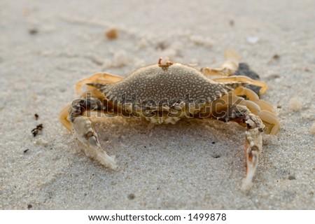 Crab on sand - stock photo