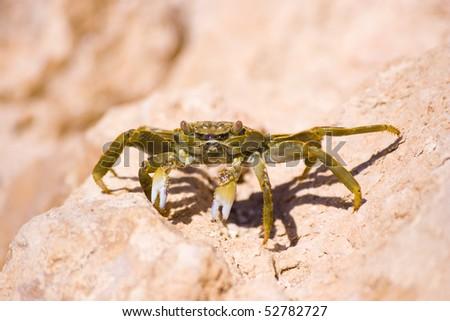 Crab on the rock closeup - stock photo