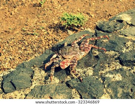 Crab on the rocks  - stock photo