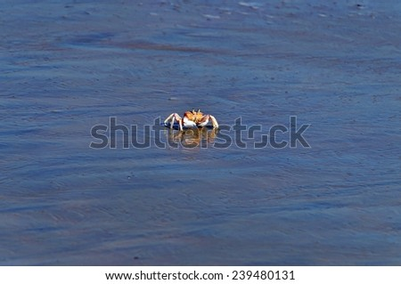 Crab reflected in water of Shela Beach in Lamu, Kenya - stock photo
