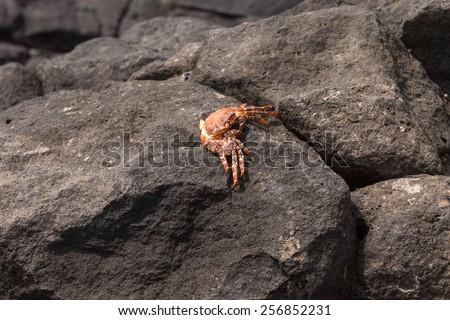 Crab sitting on a rock, Boavista - Cape Verde - stock photo