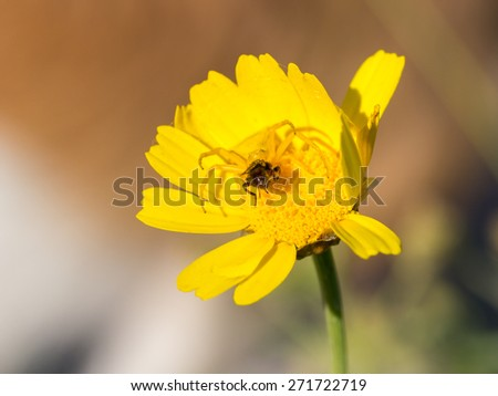 Crab spider Thomisidae hunting a bee - stock photo
