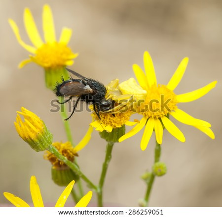 crab spider with prey - stock photo
