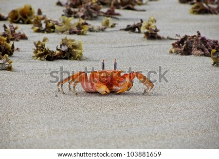 Crab walking on the beach - stock photo